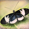 Sapho Longwing Butterfly by Susan Grube
