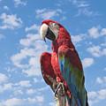 Scarlet Macaw by Kim Hojnacki