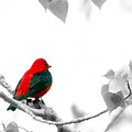 Scarlet Tanager by Jenny Gandert