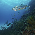 School Of Tarpon, Bonaire, Caribbean by Terry Moore