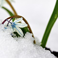 Scilla On Snow by Jouko Lehto