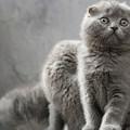 Scottish Fold Cats by Evgeniy Lankin