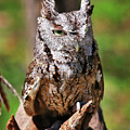 Screech Owl by SC Shank