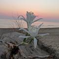 Summer Sea Lilies by Rayne Van Sing