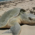 Sea Turtle by FL collection