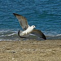 Seagull Landing by Colleen Fox