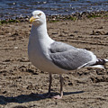 Seagull On Beach by Lita Kelley
