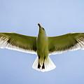 Seagull by Thomas Ozga