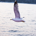 Seagulls Flying by Newnow Photography By Vera Cepic