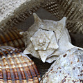 Seashells by Frank Tschakert