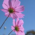 Sensation Cosmos Bipinnatus Pink Cosmos Standing Up Towerd Sky by Eiko Tsuchiya