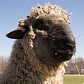 Sheep Face by Diane Schuler
