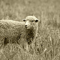 Sheep In A Meadow by Robert Hamm