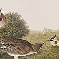 Shore Lark by John James Audubon