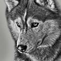 Siberian Husky 2 by Larry Linton