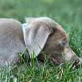 Silver Labrador Retriever Puppy  by Iris Richardson