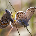 Silver-studded Blue Butterflies by Bob Kemp