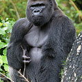 Silverback Gorilla by Bruce Beck