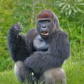 1- Silverback Western Lowland Gorilla  by Joseph Keane