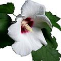 Single Rose Sharron Flower by MountainSky S