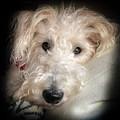 Skipper The Wire Fox Terrier by Karen Wiles