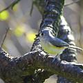 Tufted Titmouse - Small Bird by Herbert L Fields Jr