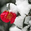Snow Bloom by Suzanne Gaff