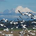 Snow Geese In Skagit Valley by Bob Stevens