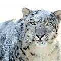 Snow Leopard by Dorothy Binder