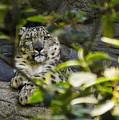 Snow Leopard by Nolan Taylor