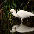 Snowy Egret by Matt Suess