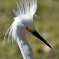 Snowy Egret by Savannah Gibbs