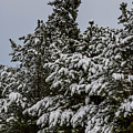 Snowy Trees by Michael Putthoff