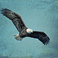 Soaring Bald Eagle by Al  Mueller