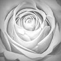 Soft Petals by Paulette Thomas