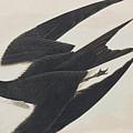 Sooty Tern by John James Audubon