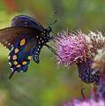 Spicebush Swallowtail On Bull Thistle by David Rowe