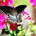 Spicebush Swallowtail by Tina LeCour