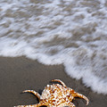 Spider Conch Shell by Anthony Totah