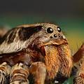 Spider by Dorothy Binder