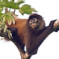 Spider Monkey by Larry Linton