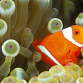 Spinecheek Clownfish by Dave Fleetham - Printscapes