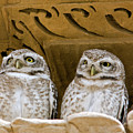 Spotted Owlets by Aivar Mikko