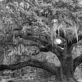 Sprawling Live Oak by DigiArt Diaries by Vicky B Fuller