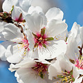 Spring Blossoms by Doug Holck