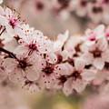 Spring Blossoms by Steven Parker
