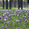 Spring Flowering Crocuses by Julia Gavin