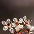 Spring Flowers by Vishwanath Bhat