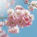 Spring Pinks by Jacky Parker