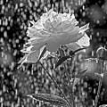 Spring Rain - 365-13 by Inge Riis McDonald